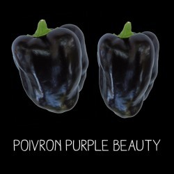 Poivron purple beauty