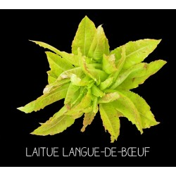 Laitue langue-de-bœuf