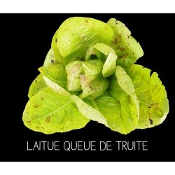 Laitue queue de truite