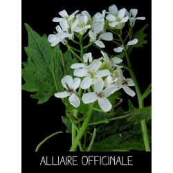 Alliaire officinale...