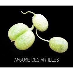 Angurie des Antilles -...