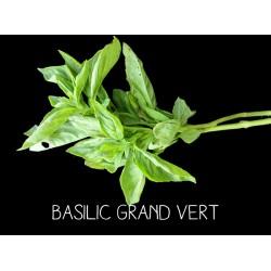 Basilic grand vert -...