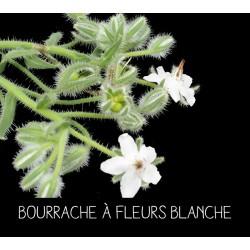 Bourrache à fleurs blanche