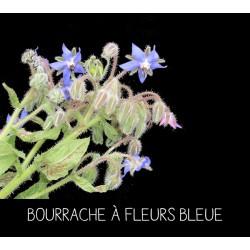 Bourrache à fleurs bleue -...