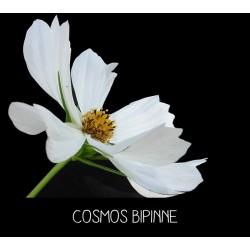Cosmos Bipinne blanc-...