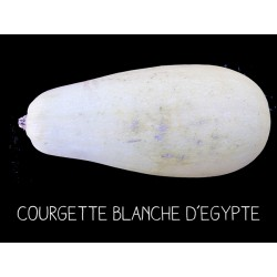 Courgette blanche d'Egypte...