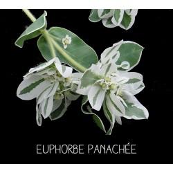 Euphorbe panachée -...