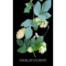 Houblon d'Europe - HUMULUS...