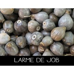 Larme de Job - COÏX L ACRYMA