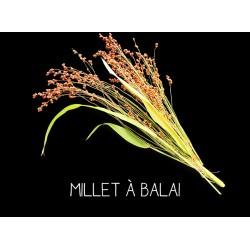 Millet à balai - SORGHUM...