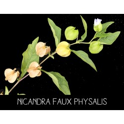 Nicandra faux physalis