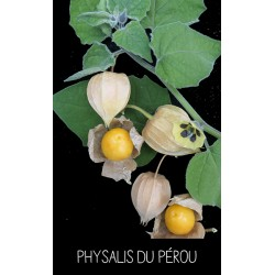 Physalis du Pérou