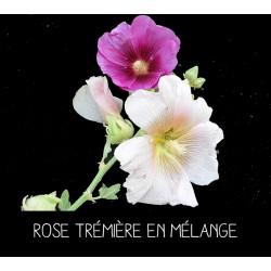 Rose trémière en mélange