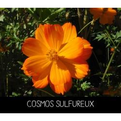 Cosmos sulfureux - COSMOS...