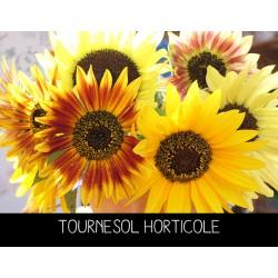 Tournesol horticole en...
