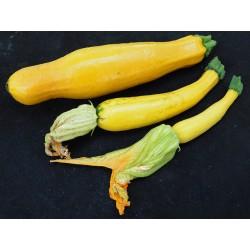 Courgette jaune à col lisse...