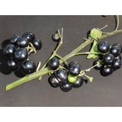 Morelle noire à gros fruit...