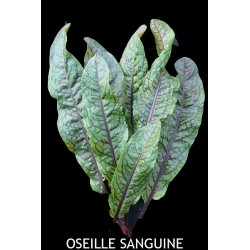Oseille Sanguine