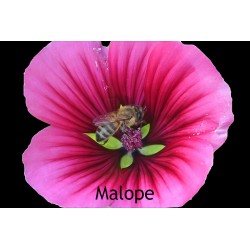 Malopeà 3 lobes MALOPE TRIFIDA