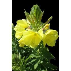 Onagre - Oenothère jaune...