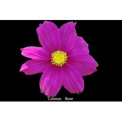 Cosmos bipinné rose foncé