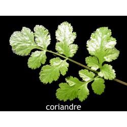 coriandre cultivée