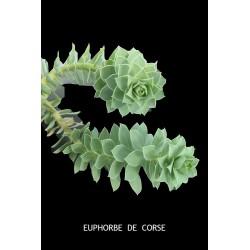 Euphorbe de Corse (Myrsinites)