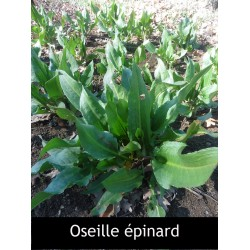 Oseille épinard (rumex...