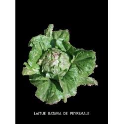 Laitue Batavia de Peyremale