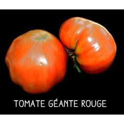 Tomate géante orange de...